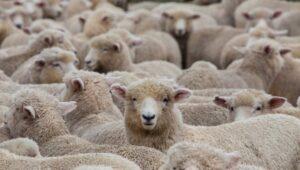 Móricz Zsigmond: A  sok juh meséje