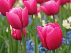 Osvát Erzsébet: Nyit a tulipán
