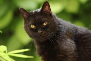 Romhányi József: A babonás fekete macska