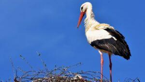 Mentovics Éva: A sérült gólya