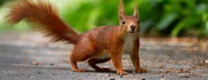 Kormos István: Mese Csirió mókusáról