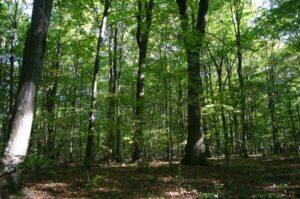 Kányádi Sándor: Erdő, erdő …