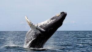 Orbán Ottó: A bálna